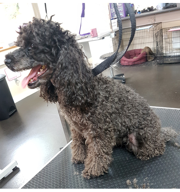 Toy-poodle-before-